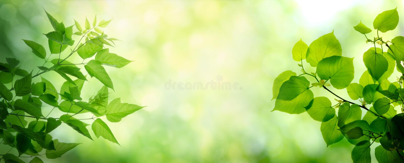 Young leaves on the branches of maple and lime tree. Spring and summer background stock photography
