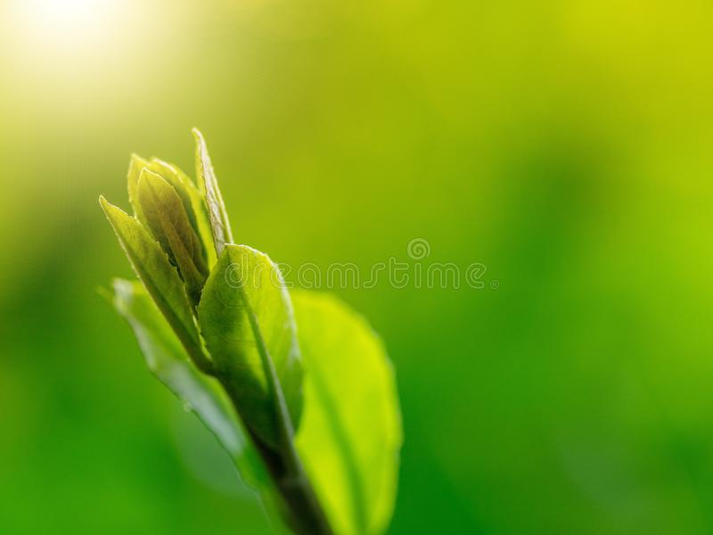 Young leaves have sunshine,Nature scenes. Close up shot of fresh green leaves stock photo