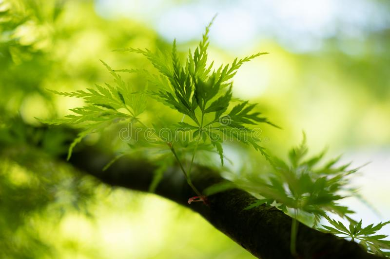 Young leafs of Japanese Maple growing royalty free stock photos