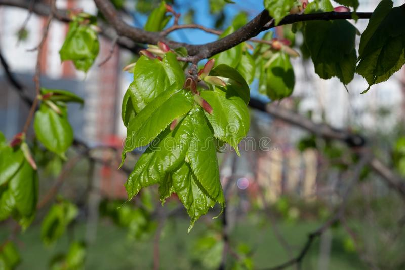 Young leaves of Linden buds in spring on the background of the city. Young leaves of Linden buds in spring on the background of the city stock image