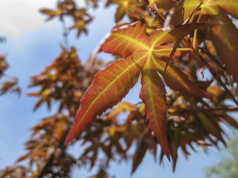 Young leaves orange and red of the Japanese maple Acer Palmatum unfold in early spring on blurred leaves background. Close-up. Selective focus. Blue sky and royalty free stock photography