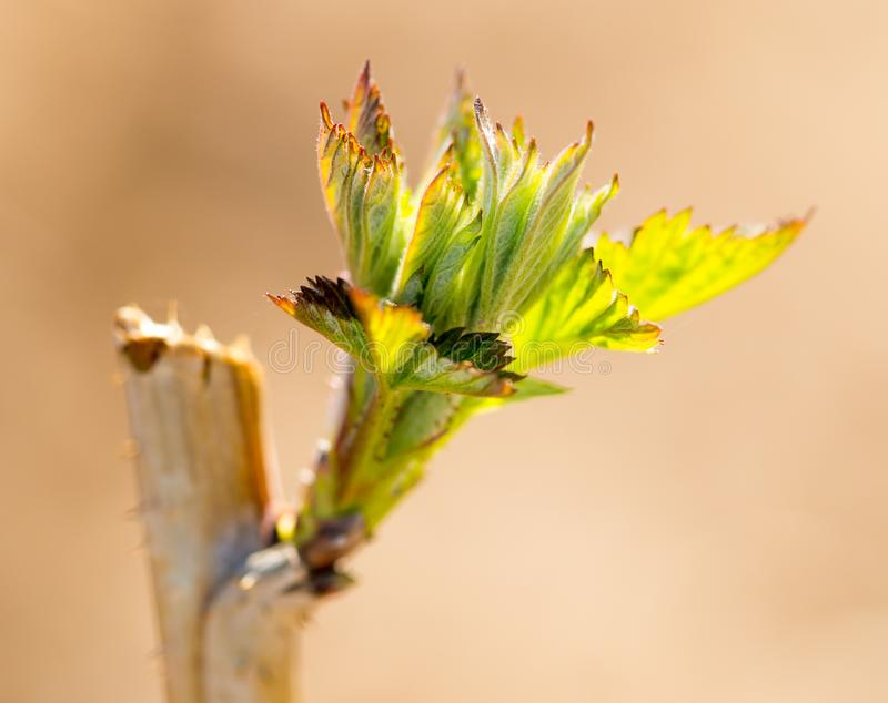 Young leaves on raspberry branches in spring royalty free stock photo