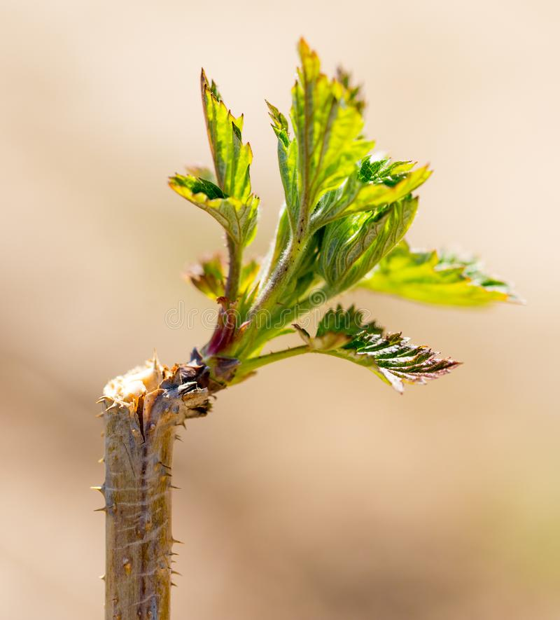 Young leaves on raspberry branches in spring stock image