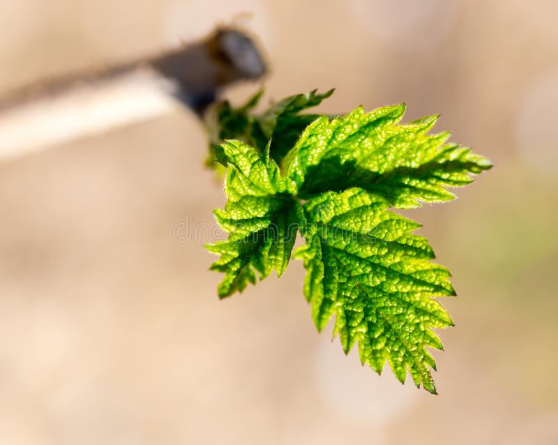 Young leaves on raspberry branches in spring stock photos