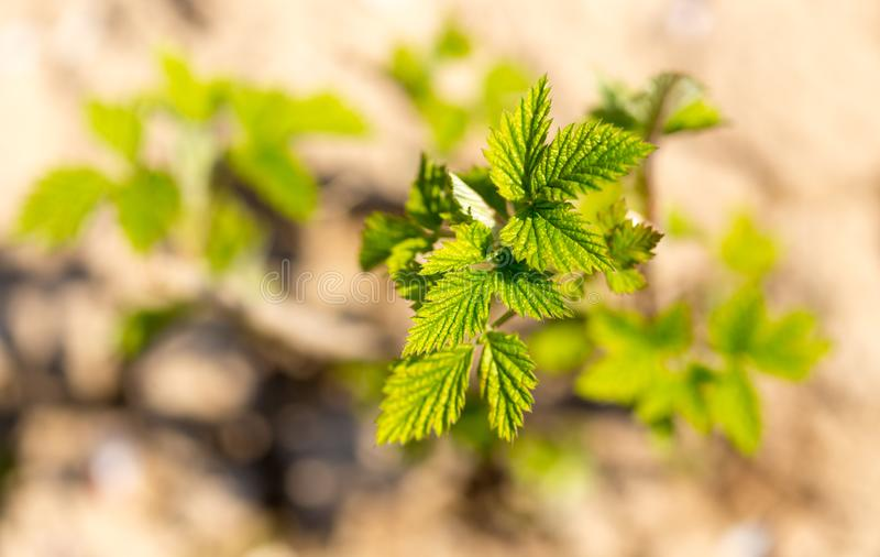 Young leaves on raspberry branches in spring stock photography