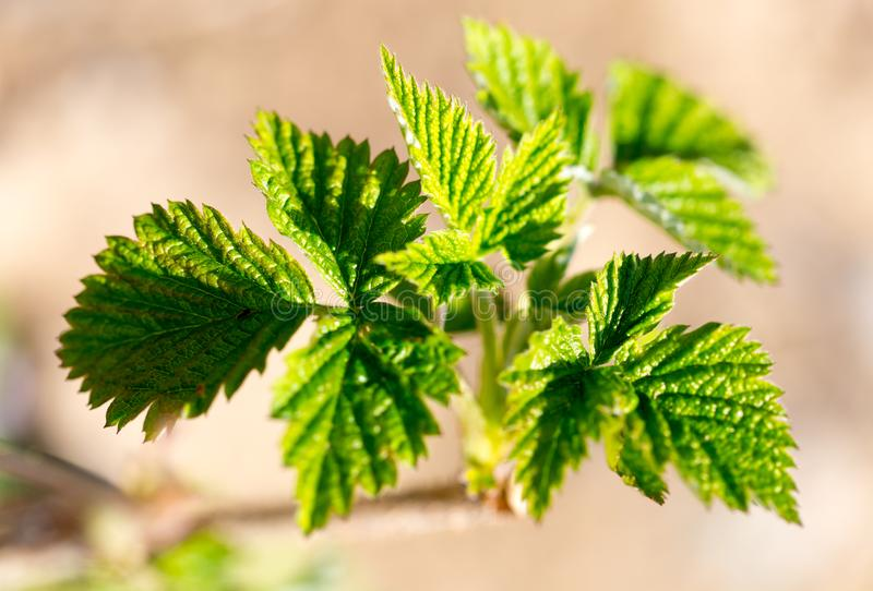 Young leaves on raspberry branches in spring royalty free stock photography