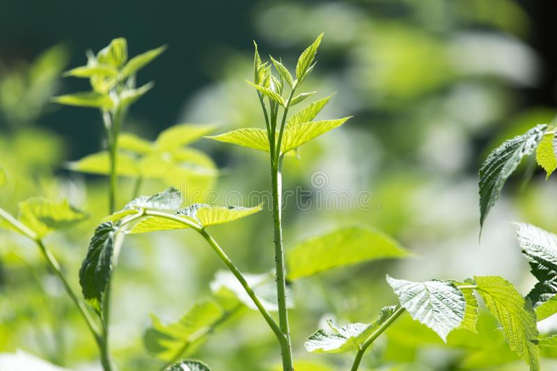 Young leaves of raspberry royalty free stock photo