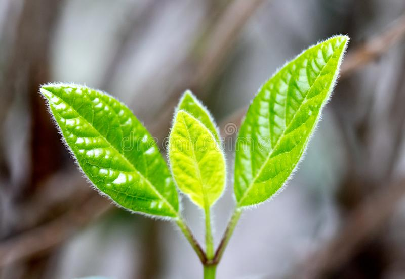 Young leaves sprouting in spring stock photo