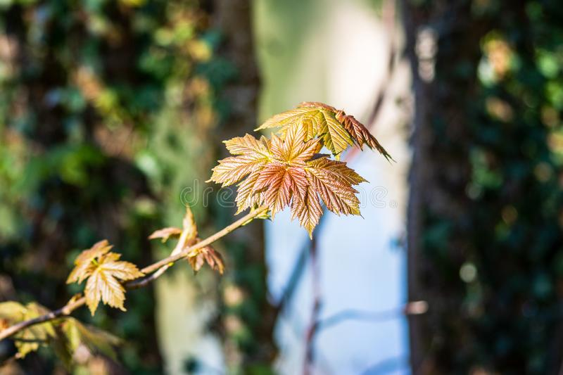 Young leaves of sycamore maple. Acer pseudoplatanus. royalty free stock images