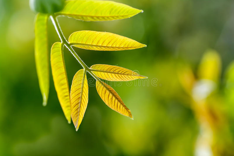 Young leaves of the walnut tree stock images