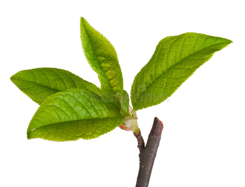 Young leaves of wild cherry. Macro royalty free stock photos