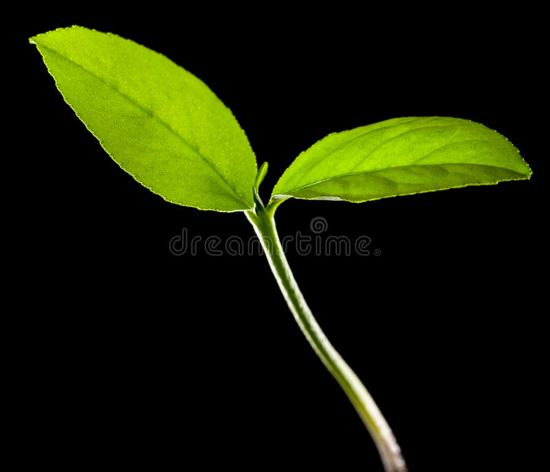 Young lemon tree background stock photos