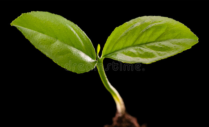 Young lemon tree stock photos