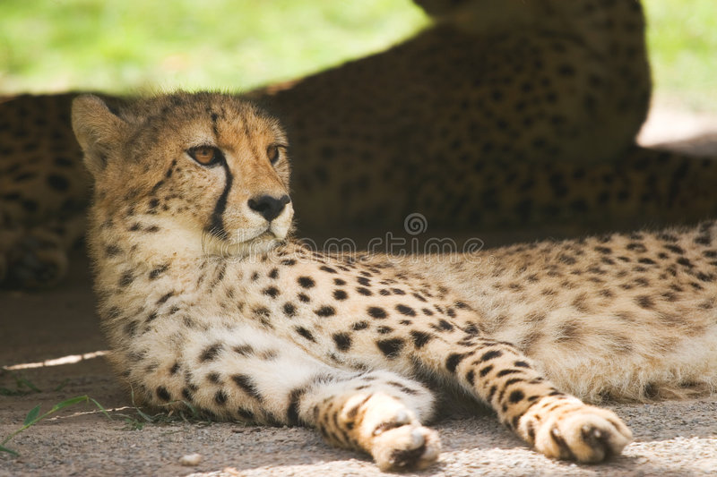 Young leopard royalty free stock photos