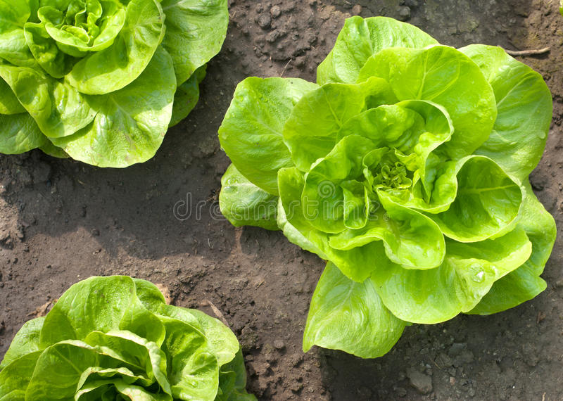 Young lettuce royalty free stock photography
