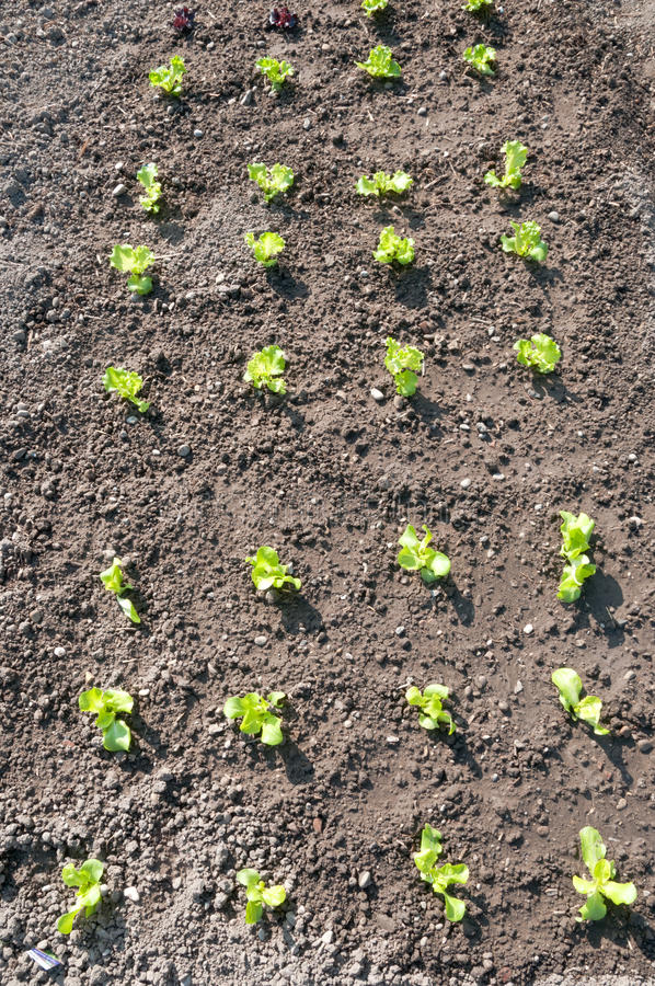 Young Lettuce Plants On A Vegetable Garden Patch Stock Image Image