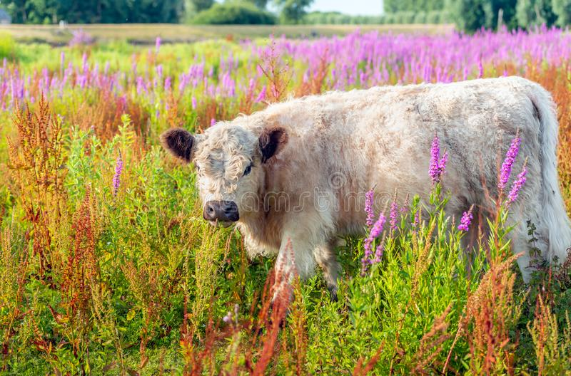 Young light-colored Galloway cow in the midst of colorfully flow stock photo