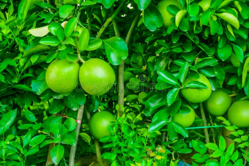 Young lime or lemon green fruit on the branches, many green lime hanging on the tree with sunlight royalty free stock photos