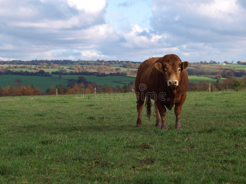 A Young Limousin Beef Bull. A brown limousin beef cow in rural England royalty free stock image
