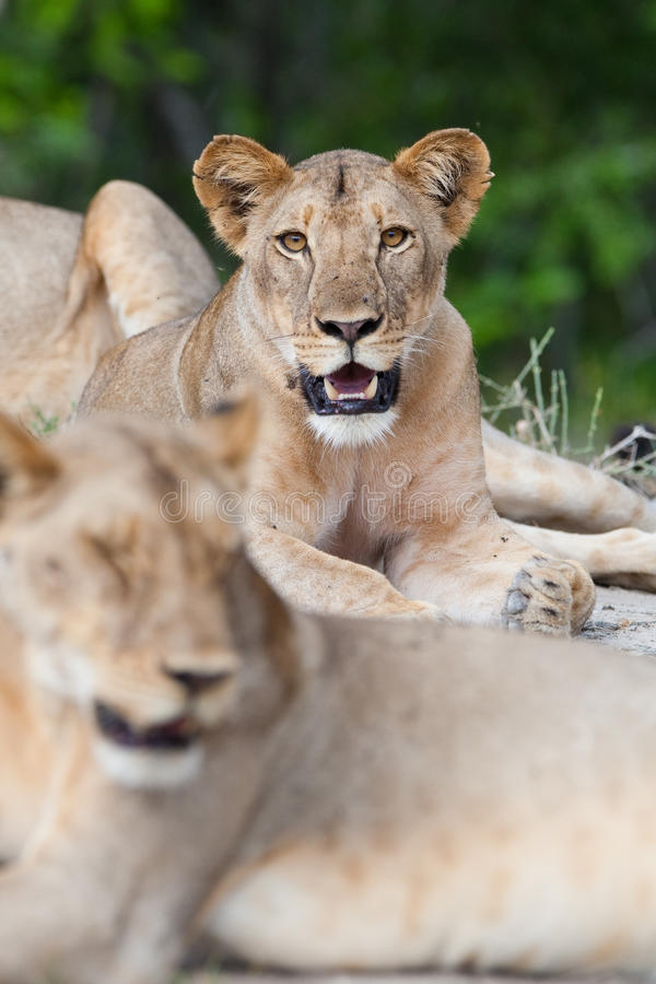 Young lion royalty free stock images