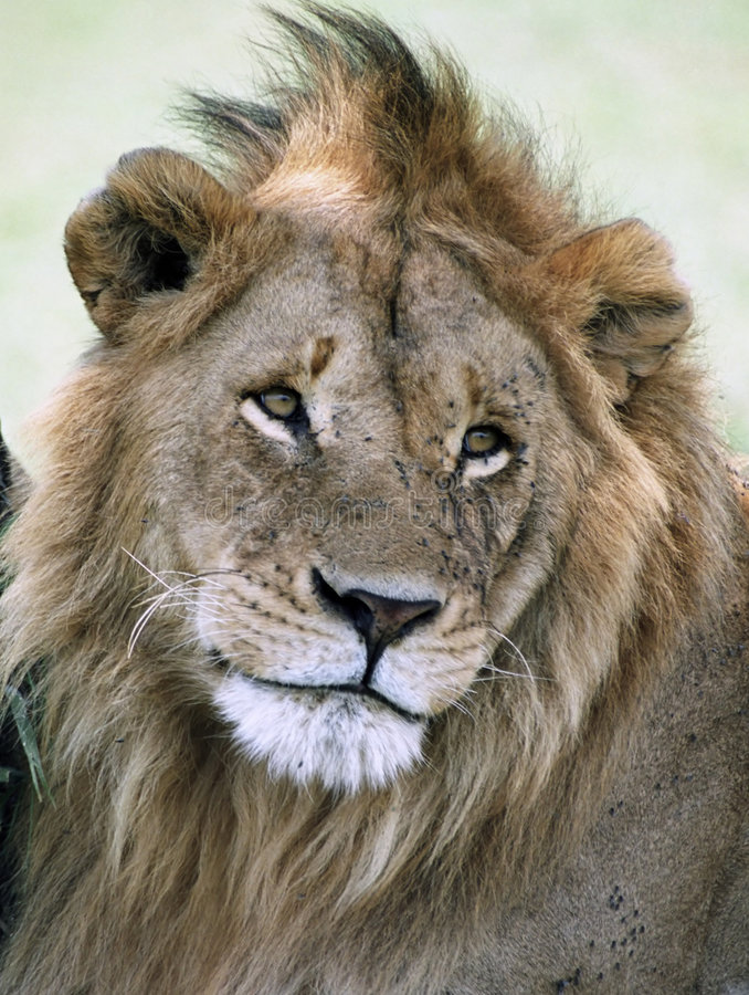Young Lion. Portrait of a young lion. Picture was taken in the Serengeti, Tanzania stock photography