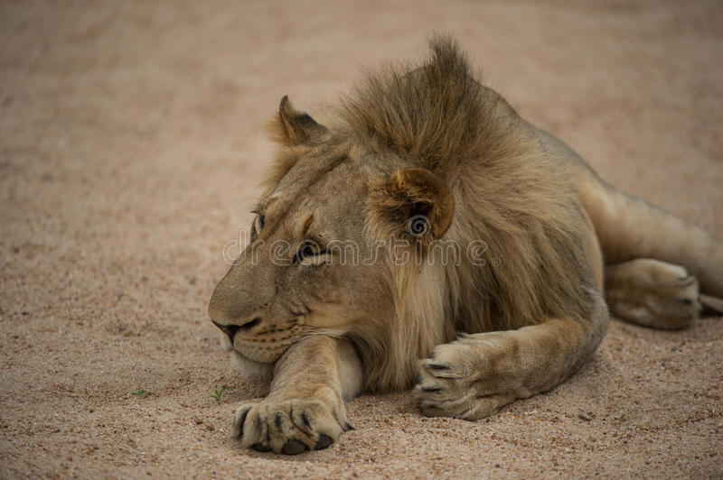A young lion on the beach