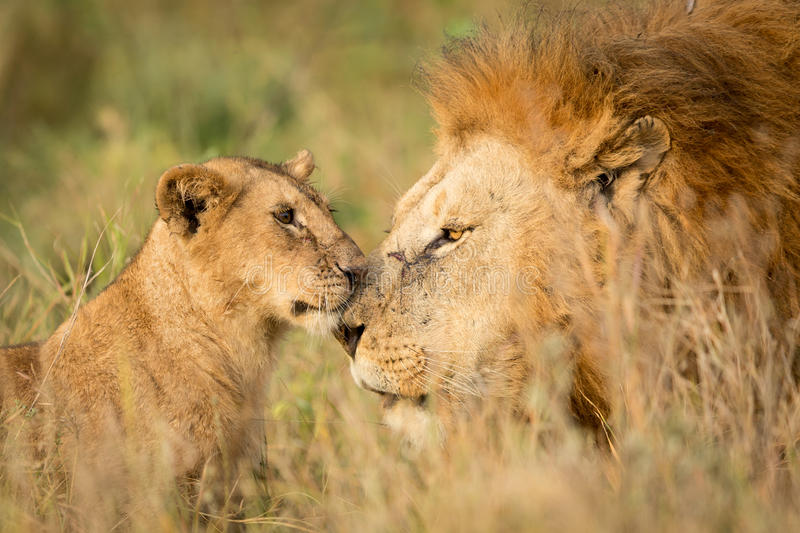 Young Lion cub greeting a large male Lion in the Serengeti, Tanzania stock photo