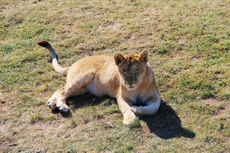 Young lion cub lies on the ground royalty free stock photos