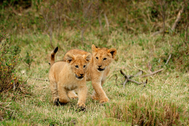 Young lion cub running stock photography
