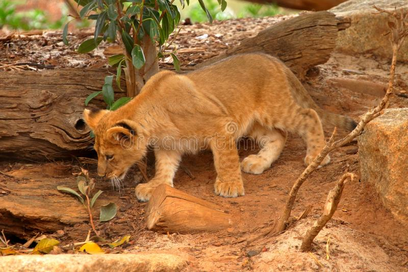 Young lion cub stalking royalty free stock photo