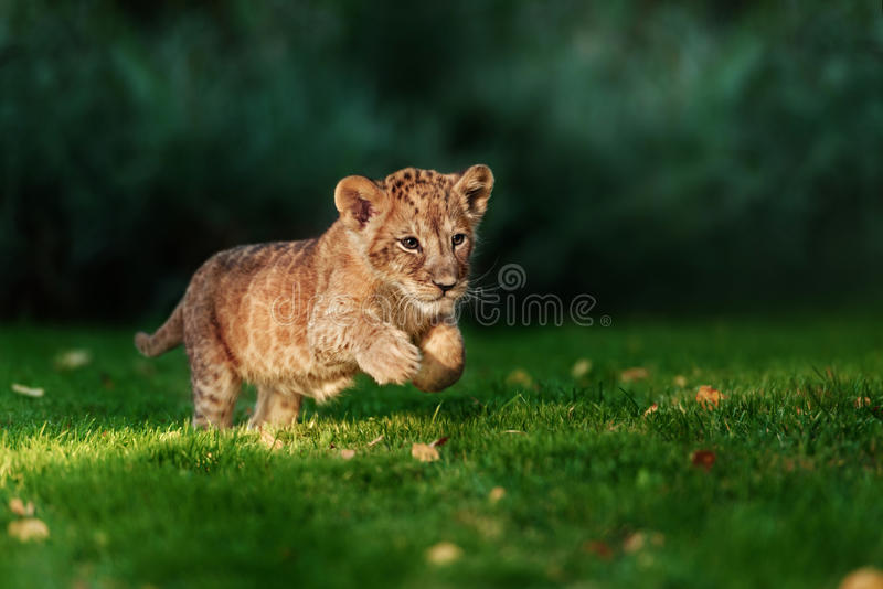 Young lion cub in the wild. And green glass