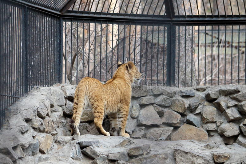 Download Young lion cub stock photo. Image of freedom, mammal - 39511798