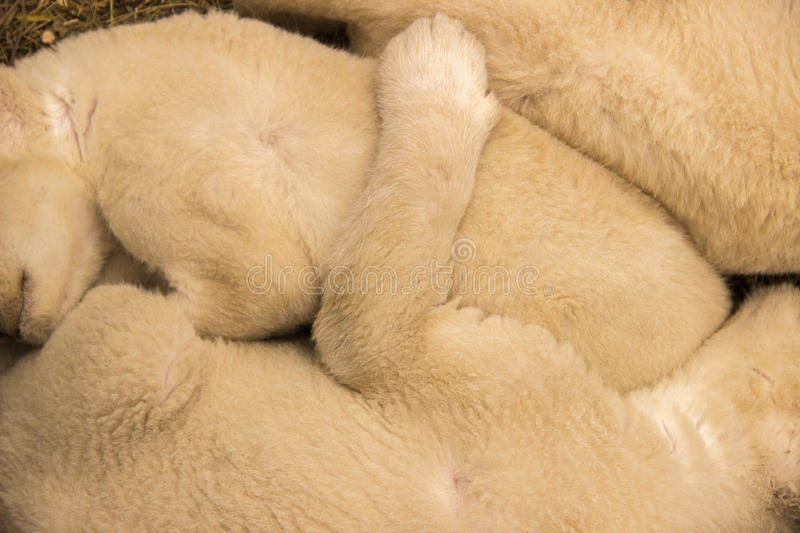 Young lion cubs fluffy sleep huddled together on the grass in th royalty free stock image