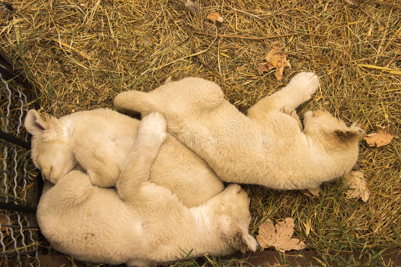 Young lion cubs fluffy sleep huddled together on the grass in th royalty free stock photography