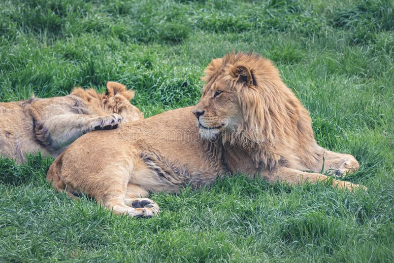 Young lion and his young companion are resting on the green grass stock image