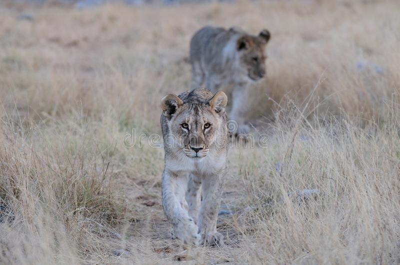 Young lion look curious, etosha nationalpark, namibia, panthera leo stock images