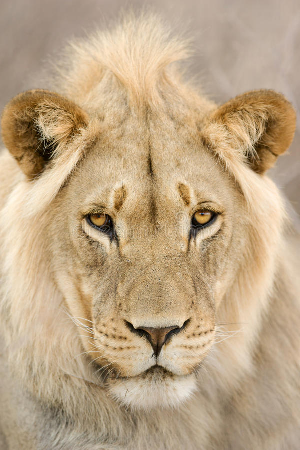 Young Lion male stock photos