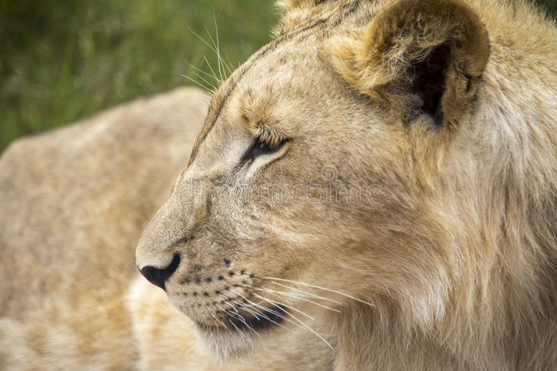 Profile of a young lion. Young lion male. Face of a young male lion. The face of a predator royalty free stock image