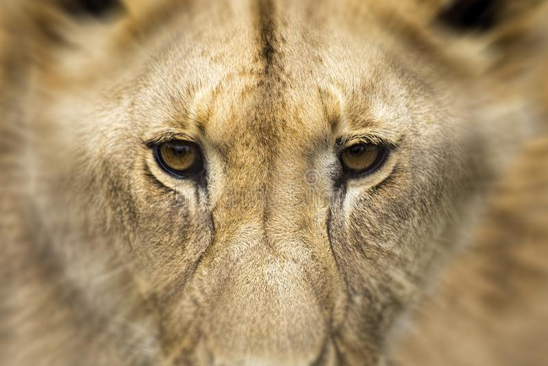 Profile of a young lion. Young lion male. Face of a young male lion. The face of a predator royalty free stock images