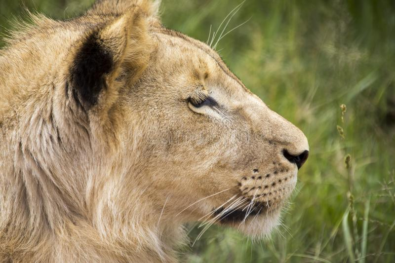 Profile of a young lion. Young lion male. Face of a young male lion. The face of a predator stock photos