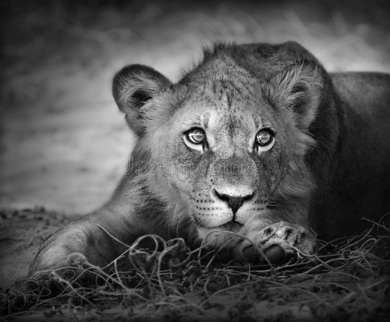 Young lion portrait royalty free stock photo