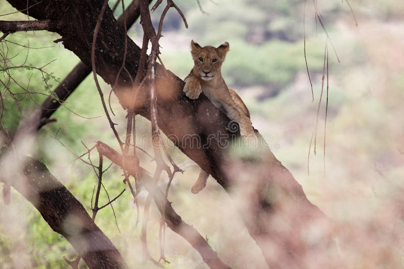 Young lion relaxing an a tree branch in Lake Manya royalty free stock photography