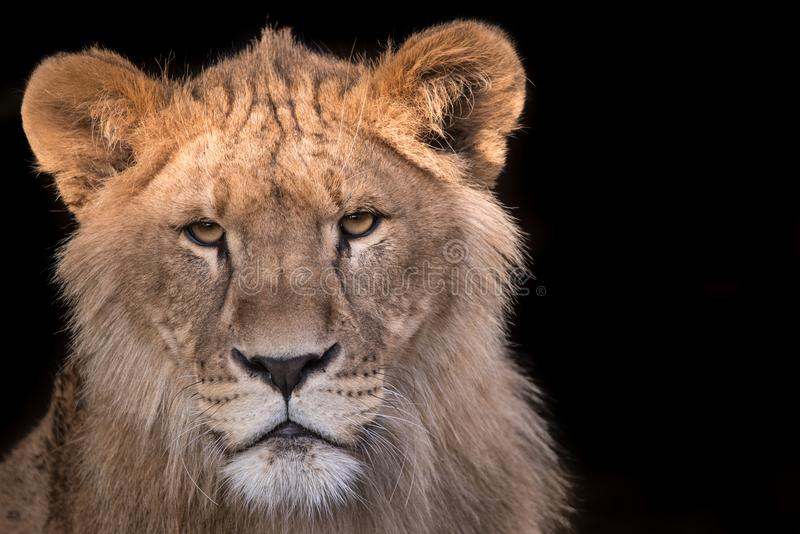 Young lion stare down. Young lion in a stare down stock images