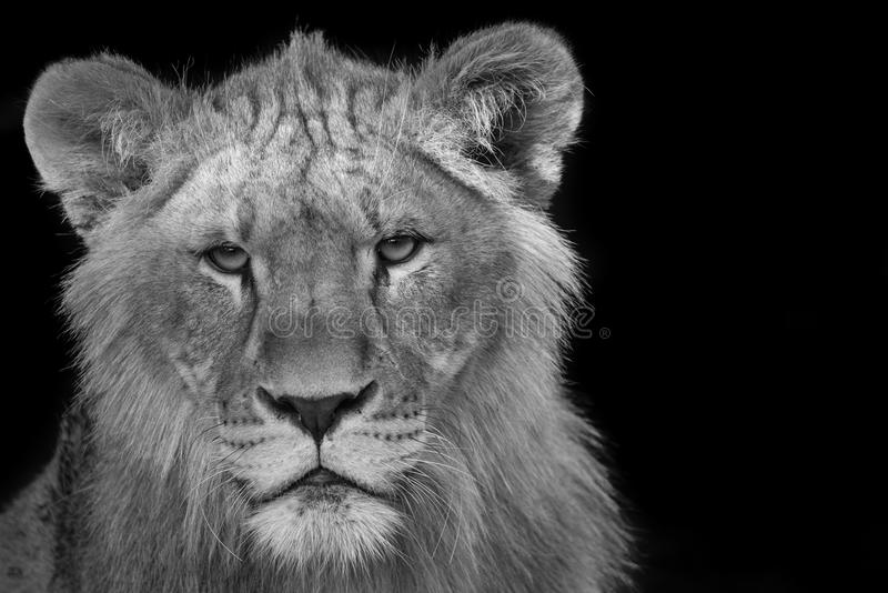 Young lion stare down - black and white. Young lion in a stare down royalty free stock photos