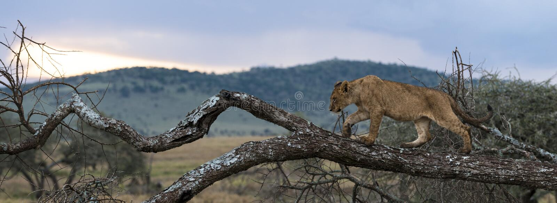 Young lion walking on a branch, Serengeti, Tanzania royalty free stock photography