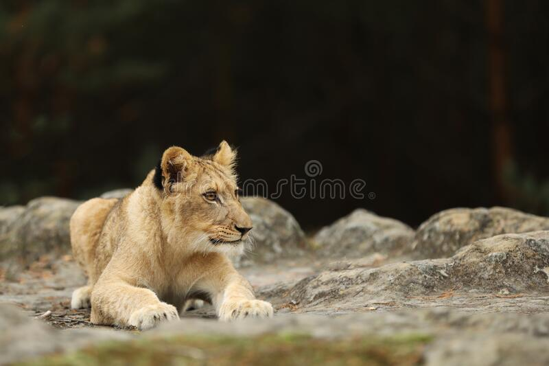 Lion cube lying down on the rock - panthera leo - kitten having rest stock images