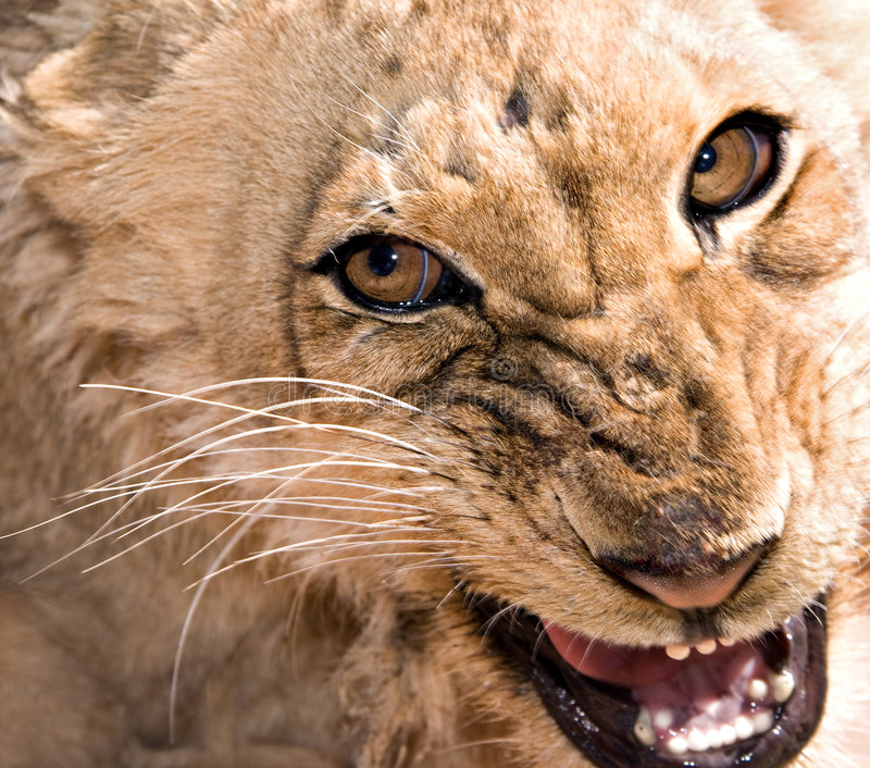 Young lioness snarling royalty free stock photos