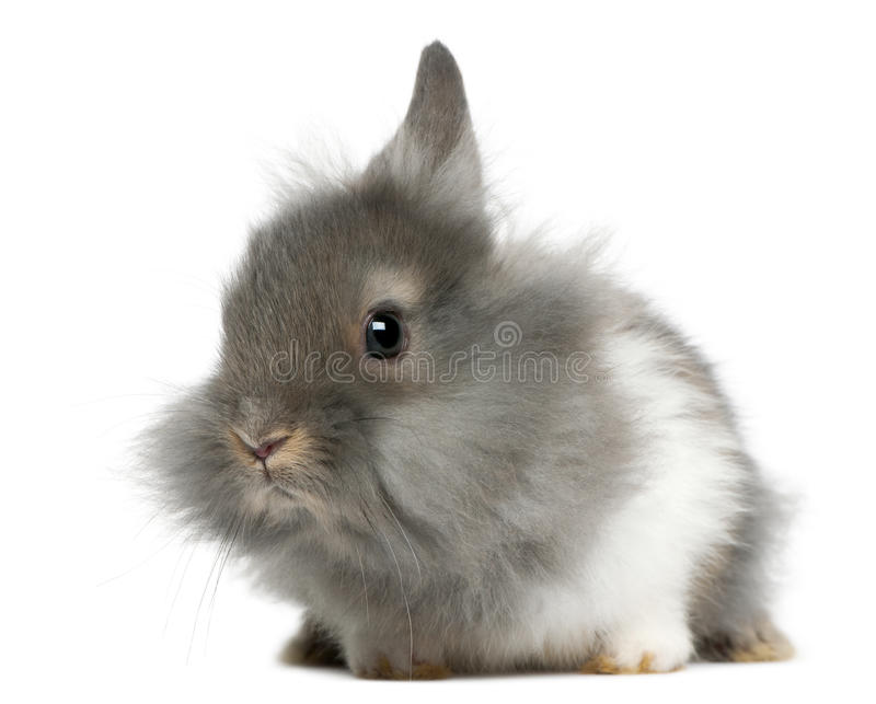 Young Lionhead rabbit, 2 months old. In front of white background royalty free stock photo