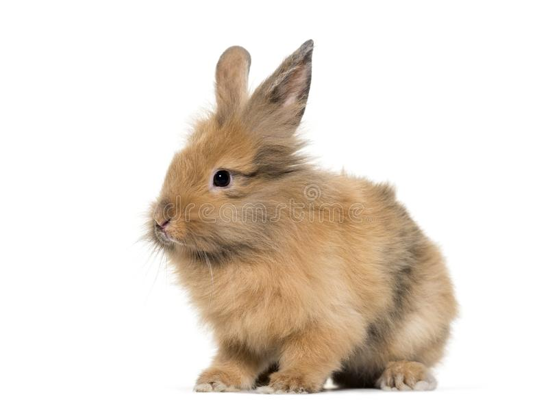 Young Lionhead rabbit, four months old sitting against white. Background stock photography