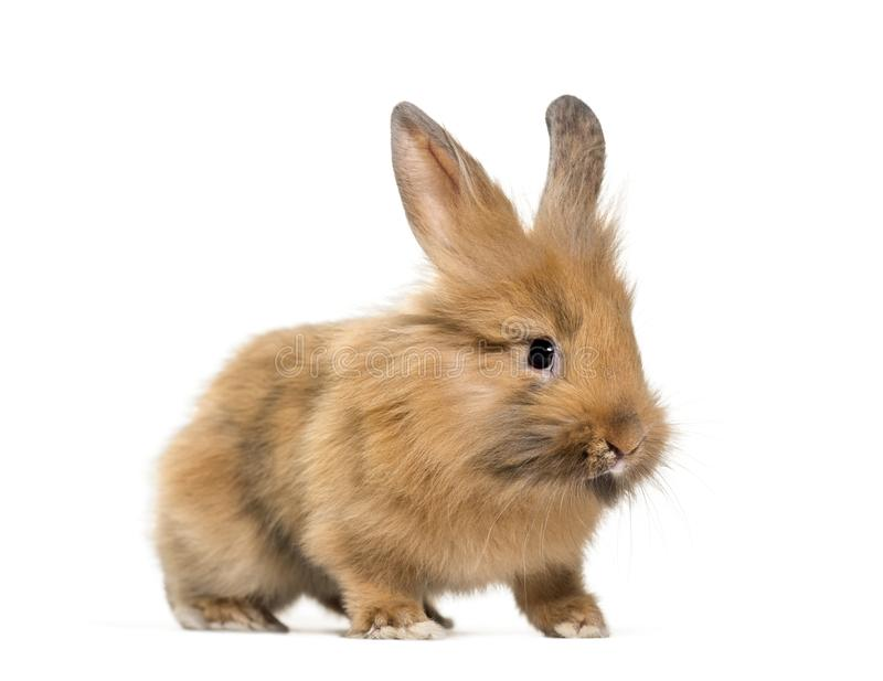 Young Lionhead rabbit, four months old standing against. White background stock photos